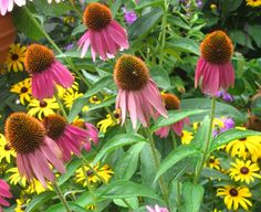 Direct sowing perennial seeds