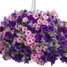 Photo Library Hanging Basket 'A Stroll in the Park' featuring: Petunias 'Supertunia Flamingo' & 'Supertunia Royal Velvet' with Bacopa 'Snowstorm Blue Bubbles' Balcony Flowers, Flower Planters, Flower Pots, Flowers Garden, Container Flowers, Container Plants, Container Gardening, Gardening Books, Hanging Flower Baskets