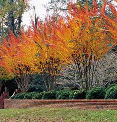 Crepe myrtles - gorgeous fall colors too!