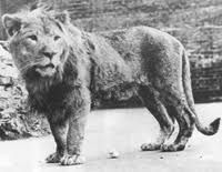 Image result for barbary lion