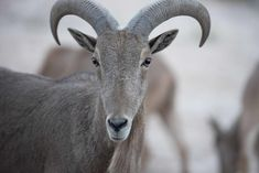 Barbary Sheep from Texas. Animal Welfare League, Animal League, School Photographer, Pet Photographer, Cow Pictures, Animal Pictures, Pet Birds, Dog Love, Animals And Pets