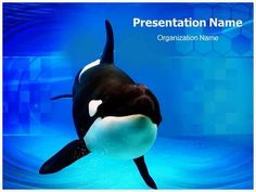 Orca Powerpoint Template is one of the best PowerPoint templates by EditableTemplates.com. #EditableTemplates #PowerPoint #Orca Whale #Orcinus Orca #Life #Swimmer #Mammal #Bigfish #Killer Whale #Killer #Hunger #Tooth #Orcas #Nature #Swim #Jumping #Underwater #Vacation #Fish #Marineland #Pacific #Dangerous #Wildlife #Eye #Animal #Ocean #Orca #Whale #Tail #Happy #Fun #Wild #Marine #Summer #Tongue #Show #Danger #Bubbles #Mouth #Hungry #Killer Whales #Water