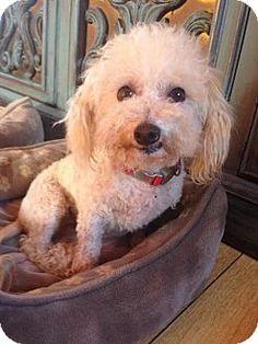 San Pedro, CA - Poodle (Miniature). Meet Paloma, a dog for adoption. http://www.adoptapet.com/pet/13349975-san-pedro-california-poodle-miniature