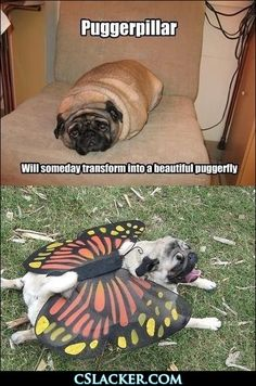 ohh the joy of fat pugs