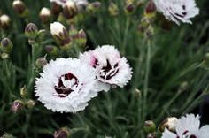 Dianthus SF 'Coconut Surprise' - From the Scent First Series, Coconut Surprise features fragrant, bright-white, double blooms that have a red center and frilly petal edges. The flowers bloom from late spring to early summer atop blue-green foliage. Plants require well-drained soil. Great to use around a patio where the fragrance can be enjoyed!
