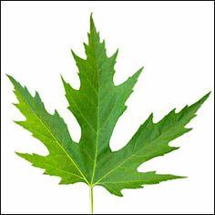 Silver Maple Acer Saccharinum