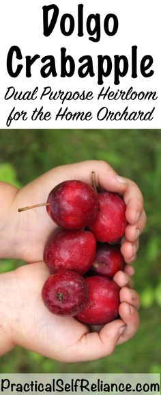 Available at Harvest Moon Orchard in Carp. Dolgo Crab Apple ~ A perfect pollinator with tasty fruit for your home orchard Alfalfa Seed, Alfalfa Sprouts, Growing Fruit Trees, Growing Plants, Berry Juice, Soil Improvement, Companion Planting, Apple Tree, Aquaponics