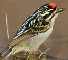 Red-fronted tinkerbird, Pogoniulus pusillus formerly known as the red-fronted tinker barbet is a small African barbet. Barbets are near passerine birds with bristles around the base of the bill. They have a world-wide tropical distribution.