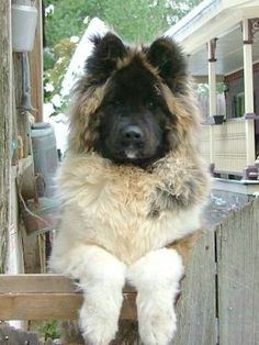 Long Haired Akita- this is a fuzzy grizzly!! SO cute.