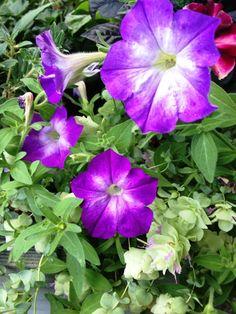 Flash Mob Blueriffic Petunias