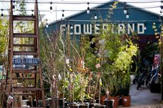 Say hello to the neighborhood dog. Have a coffee and a cookie. And buy a hellebore or two. Welcome to Flowerland.