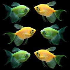 GloFish® Long-Fin Collection
