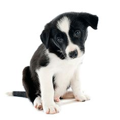 See only the cutest & most adorable pictures of border collie puppy dogs right here . More puppy pics are added almost daily for your enjoyment . Puppy Pictures, Cute Pictures, Cute Puppies, Dogs And Puppies, Border Collie Pictures, Border Collie Puppies, Puppy Breeds, Graphic Design Tutorials, Photoshop