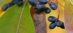 Nyssa sylvatica Zwarte tupeloboom uit Noord-Amerika houdt van nattigheid. staat liefst aan de waterkant op voedselrijke grond.Na de eerste nachtvorst kleurt hij spectaculair vuurrood. groeit langzaam dus kan ook in middelgrote tuinen