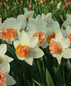 Narcissus Candy Princess - Double - Narcissi - Fall 2013 Flower Bulbs purchased 6-2014