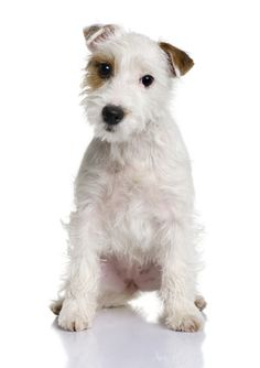 Breeder Buzzwords – The Parson Russell Terrier | Best In Show Daily | 2013