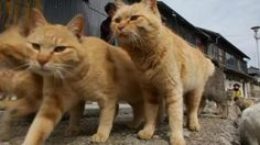 """Watch the video A roundup of animals on and around Japan's """"Cat Island"""" on Yahoo News . Cats outnumber elderly residents on a Japanese island, while dogs are given a taste of the good life at a Berlin restaurant -- all in this week's animal roundup. Jillian Kitchener reports."""