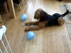 Airedale terrier Balloon play