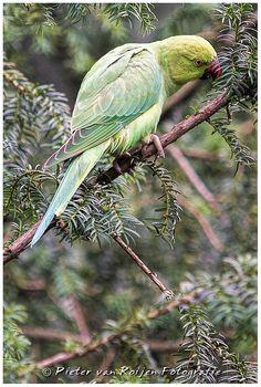 Female Rose-ringed parakeet.