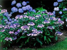 Mariesii Lilacina Blue Showy Lacecap Flowers A handsome, free-standing hydrangea, 'Mariesii Lilacina' is grown for its mauve-pink to blue, showy lacecap flowers, which appear in midsummer. Hydrangea Bloom, Hydrangea Not Blooming, Hydrangea Garden, Hydrangeas, Hydrangea Varieties, Lilacs, Zinnias, Petunias, Garden Yard Ideas