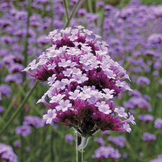 Verbena bonariensis -- one of my favorite perennials. Self seeds, pops up in between everything on tall, thin stalks. Might be considered invasive, but I love the surprise of it. Flowers For Sale, Cut Flowers, Meadow Garden, Dream Garden, Verbena, Potager Garden, Garden Plants, Garden Trellis, Pieris Japonica