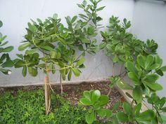 caracteristicas-y-cultivo-de-la-clusia-fluminensis-03