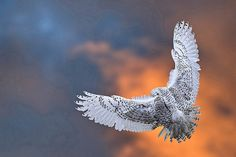 howtoskinatiger: Snowy Owl landing at sunset © by The Digital Surgeon is back on Flickr.