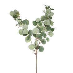Eucalyptus Stem #affiliate