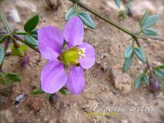 Treinta nudos (Fagonia cretica). Flora silvestre de Lanzarote. Canarias.