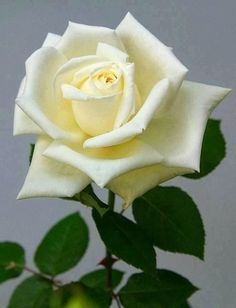 Creamy White Rose - vma.