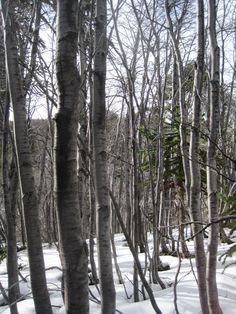 Bosque de hualles nevado