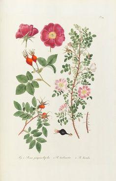 Fig 1. Rosa pimpinellifolia, 2. R turbinata, 3. R lucida. -- Rose -- Popular Flowers -- Flowers -- RHS Prints