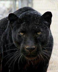 Black Beauty of a cat