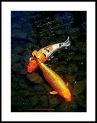 Koi Story Two C Framed Print by Randall Weidner