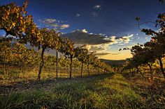 favorite vineyard photo
