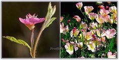 Ezan Çiçeği'nin Yetiştirilmesi, Çoğaltılması (Gece Mumu) - Forum Gerçek