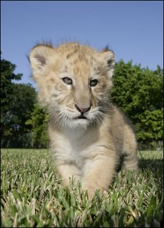 Newborn Liger
