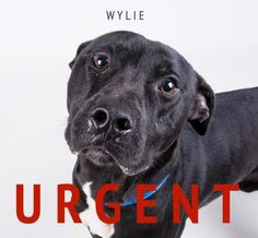 Meet Wylie, an adoptable Pit Bull Terrier looking for a forever home. If you're looking for a new pet to adopt or want information on how to get involved with adoptable pets, Petfinder.com is a great resource.
