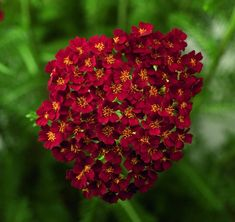 In the nursery at Westport Winery: Achillea m. 'Desert Eve Red' (Yarrow - Red). This petite grower sports red flowers all summer above the green fern like foliage. Deadhead to encourage more flowers. Full sun well drained soil. Drought tolerant once established. Deer resistant and a butterfly favorite.