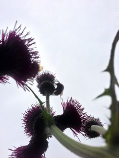 Thistles and bee