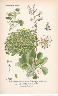 Saxifrages, Atlas des plantes de jardins et d'appartements exotiques et européennes... Planches, 1-160 / par D. Bois,...   1896