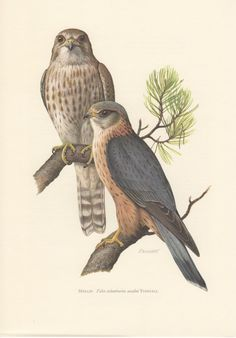 1956 Merlin Falcon Antique Print Vintage Lithograph by Craftissimo, €12.95
