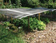 Successive plantings of lettuce grow under a window screen for protection from the excessive heat.