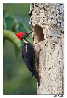 Woodpecker - reminds me of going to the cabin with my family on Piot Lake