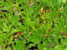 This is a beaut of a ground cover.    Bright green foliage all year and even small flowers Spring & Summer, orange, yellow, purple-mauve.    A good spreader to so great to cover that sandy gap between you real show stoppers but still looking great itself.