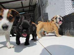 Jack russell, Bulldog frances y Bulldog ingles