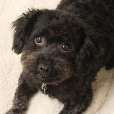Meet Sabrina, a Poodle mix available for adoption at A.D.O.P.T. Pet Shelter in Naperville, IL