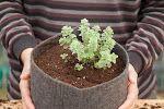 Πως και γιατί ΠΡΕΠΕΙ να φυτέψεις ρίγανη στη γλάστρα !!!