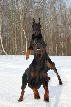 #Doberman  Playing in the snow