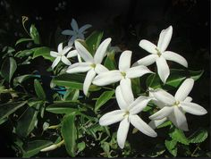 GELSOMINO MEDITERRANEO (Jasminum officinale)
